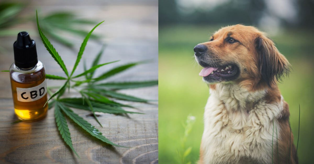 No, CBD is Not Marijuana. Here's Why It's Safe, Legal, & Healthy for Your Dog
